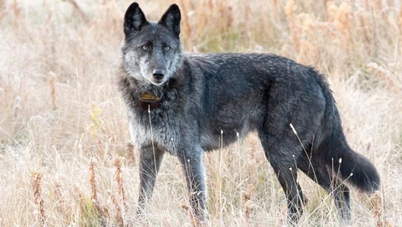 EE.UU.: Cazador mata a la loba más querida de parque nacional