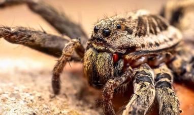 Advierten que las arañas lobo del Ártico se convirtieron en caníbales por el cambio climático