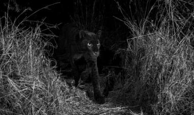 Africa: Por primera vez en cien años, captan un leopardo negro extremadamente raro