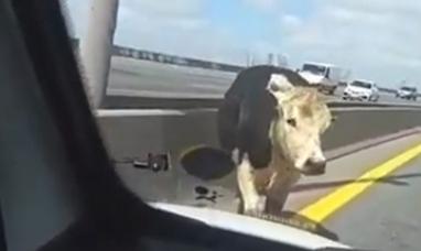 Buenos Aires:Una vaca suelta en la autopista no causó una tragedia de milagro