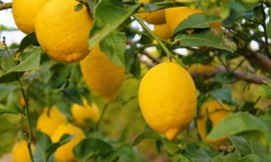 Se certificó el primer cargamento de limones con destino a Europa, luego de la reapertura del mercado