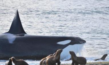 Chubut: El avistaje de ballenas orcas fue récord en península Valdés