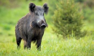 Chubut: El SENASA detectó triquinosis en carne de jabalí