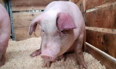 EE.UU.: Científicos reviven el cerebro de un cerdo muerto
