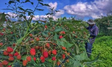 Colombia: Moras cultivada por indígenas del Cauca llega al mercado estadounidense
