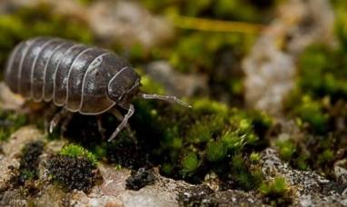 Descubren que el bicho bolita elimina el plomo, cadmio y arsénico del suelo y favorece el crecimiento vegetal