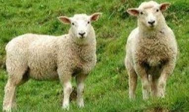 Diputados: Hubo dictamen sobre proyecto de ley ovina