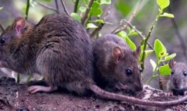Entre Ríos: Primer muerto por hanta virus, ocurrió en Gualeguaychú y ya son doce las víctimas en todo el país