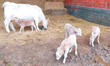 España: En vísperas de navidad, una vaca tuvo cuatrillizos en forma natural y están todos vivos