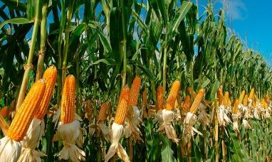 Finalizó la cosecha nacional de maíz y luego de 20 años superó a la producción de soja