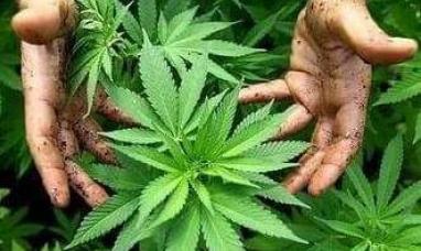 El gobierno nacional legalizó el auto cultivo de cannabis para uso medicinal