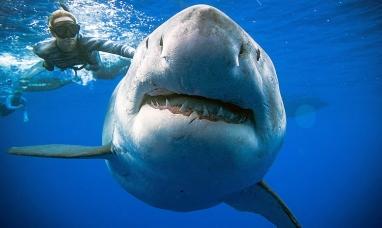 Hawái: Extraña reaparición de un gran tiburón blanco