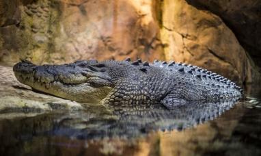 Indonesia: Un enorme cocodrilo salta más de dos metros y devora viva a una científica que le daba de comer