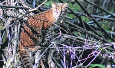 Río Negro: Fotografían gato salvaje en vías de extinción