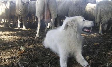 Perro protector para las ovejas