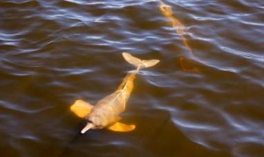 Por culpa de la minería, los delfines de la Amazonía están contaminados con mercurio