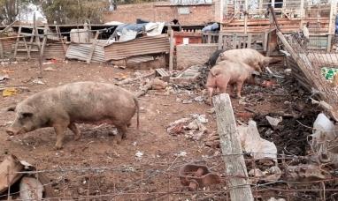 Córdoba: Criaban cerdos entre roedores y con desperdicios domiciliarios, los denunciaron y advierten por triquinosis