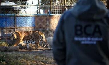 Santa Fe: Rescatan de un establecimiento rural un tigre de bengala y una leona