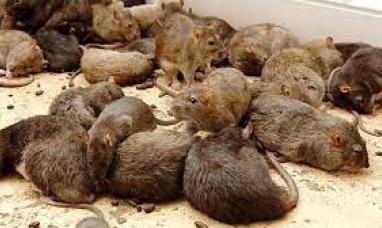 Tierra del Fuego: Aparecen pequeños roedores en la ruta N°3, no es la primera vez y no se sabe el porqué