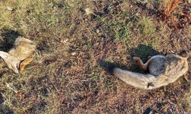 Tierra del Fuego: El cuerpo descuartizado de un zorro apareció tirado en pleno centro de Río Grande