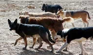Tierra del Fuego: Estancieros aseguran que la producción ganadera está estancada por los perros asilvestrados