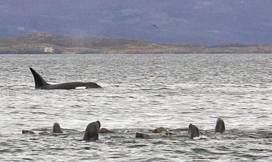 Tierra del Fuego: Fue avistado un grupo de orcas en Playa Larga