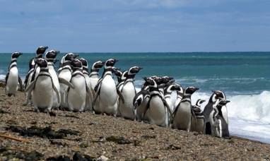 Tierra del Fuego: Investigadores del CADIC descubren una nueva colonia de pingüinos de Magallanes en isla de los Estados