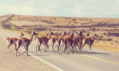 Tierra del Fuego: Se realizará un censo para saber cuál es la cantidad de guanacos