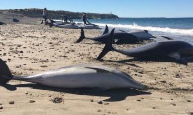 Chubut: Masivo varamiento de delfines en el golfo nuevo