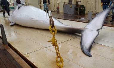 Japón: Pescadores mataron a más de 300 ballenas en la Antártida