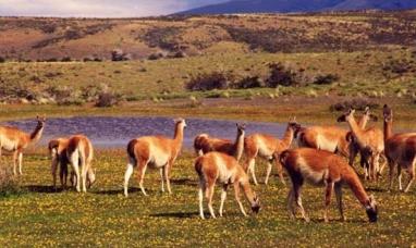 Santa Cruz: Habilitan frigorífico para exportar carne de guanaco