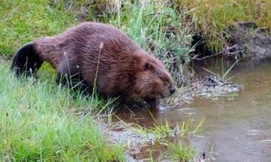Tierra del Fuego: Castores construyeron más de 70 mil diques y cambiaron el ecosistema