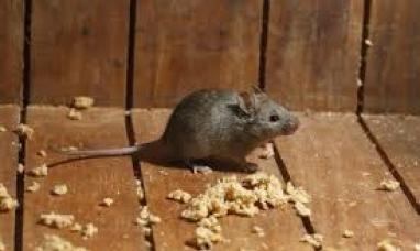 Tierra del Fuego: Encuentran ratas en comedor escolar y procedieron a clausurarlo