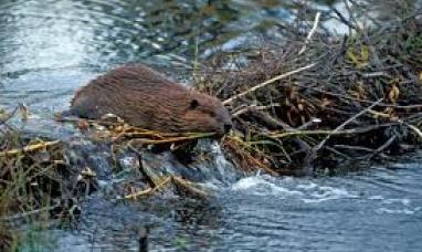 Tierra del Fuego: Organismo internacional aportará cinco millones trescientos mil pesos para eliminar castores
