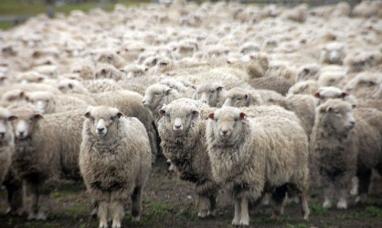 Tierra del Fuego: Se podrían producir 700 toneladas de lana durante la temporada de esquila